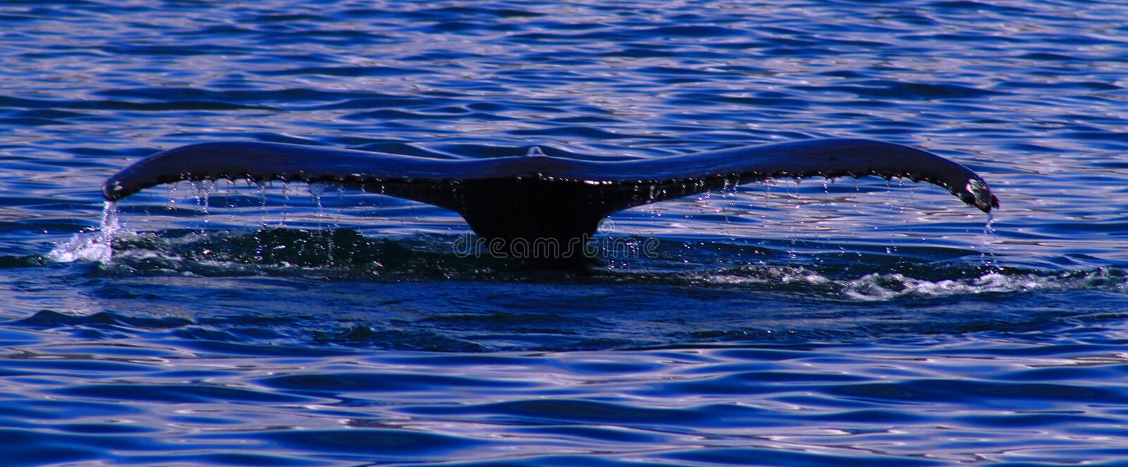 Humpback whale, Iceland royalty free stock photos