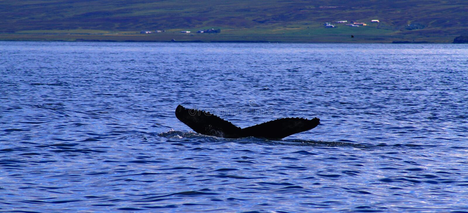 Humpback whale, Iceland. Whale watching near Husavik - tail fin of humpback whale, Iceland stock photography