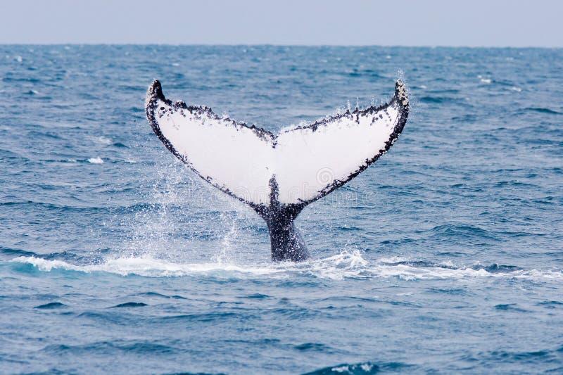 Humpback Whale. Humpback jubarte Whale of abrolhos islands in bahia state brazil stock photography