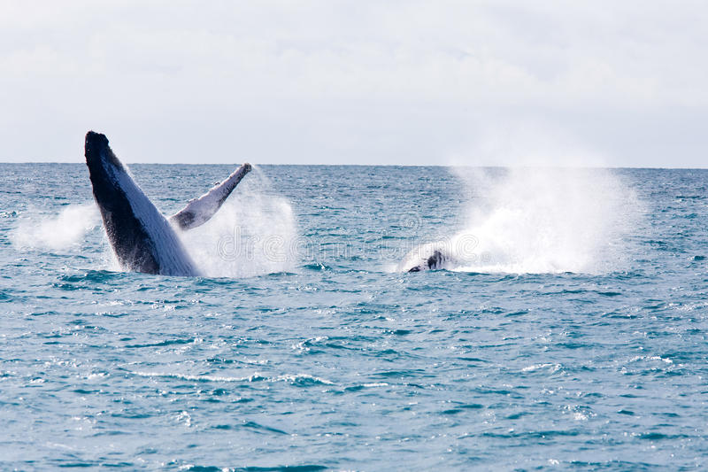 Humpback Whale. Humpback jubarte Whale of abrolhos islands in bahia state brazil stock images