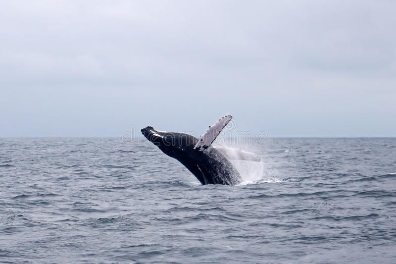 Humpback whale leaping. Black male humpback whale leaping, off the coast of Ecuador Puerto Lopez stock image