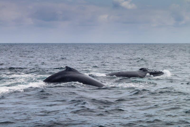 Humpback whale in Machalilla National Park. Humpback whales Megaptera novaeangliae in Machalilla National Park, Ecuador stock image