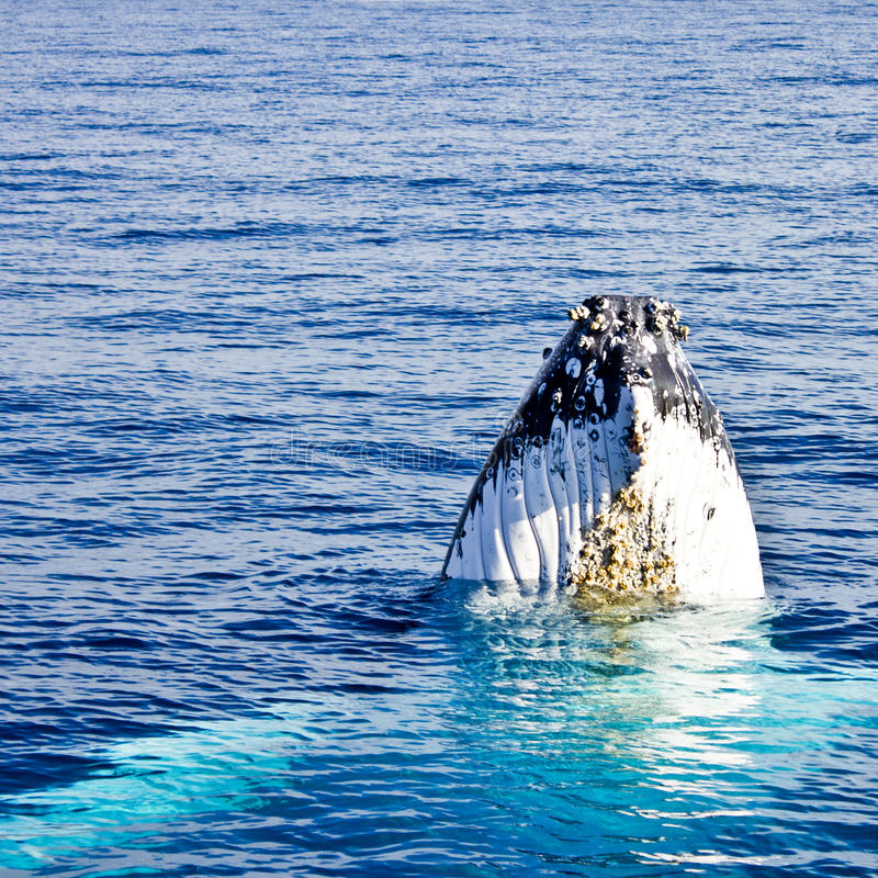 Download Humpback Whale (Megaptera Novaeangliae) Stock Image - Image: 21181809