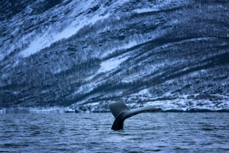 Humpback whale, megaptera novaeangliae, Norway royalty free stock image