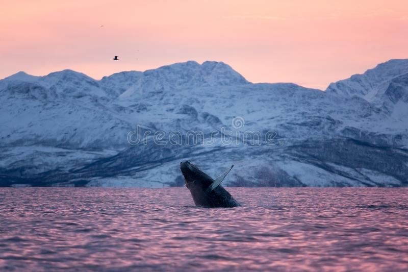 Humpback whale, megaptera novaeangliae, Norway. Swiming whale. Whale on the surface. Hunting humpback whale. The dorsal fin of the whale. Winter in Norway stock images