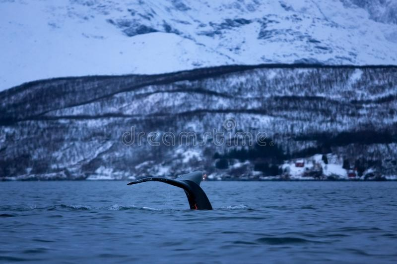 Humpback whale, megaptera novaeangliae, Norway. Swiming whale. Whale on the surface. Hunting humpback whale. The dorsal fin of the whale. Winter in Norway royalty free stock image
