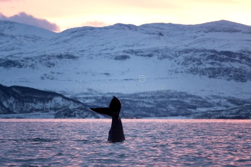 Humpback whale, megaptera novaeangliae, Norway. Swiming whale. Whale on the surface. Hunting humpback whale. The dorsal fin of the whale. Winter in Norway stock photo