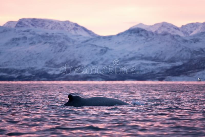 Humpback whale, megaptera novaeangliae, Norway. Swiming whale. Whale on the surface. Hunting humpback whale. The dorsal fin of the whale. Winter in Norway royalty free stock photography