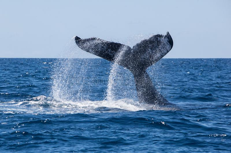 Humpback Whale Slamming Tail Onto Ocean stock photography