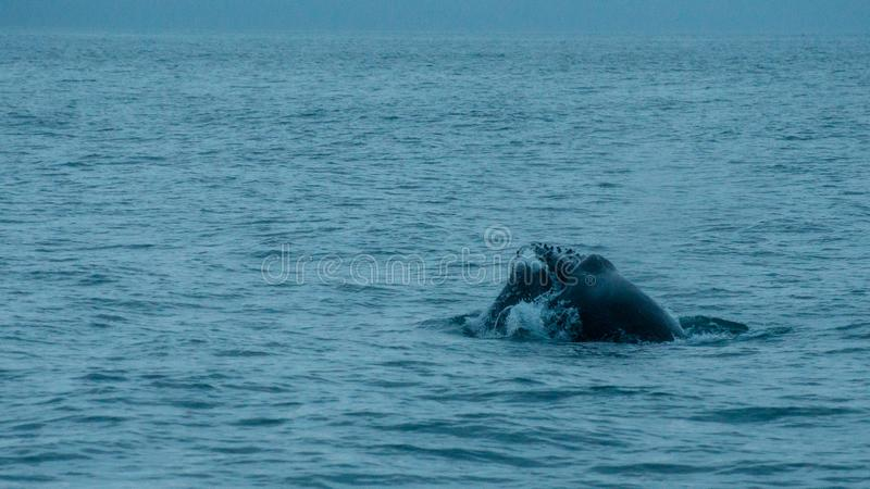 Husavik - the humpback whale Iceland, August 2018. The humpback whale Megaptera novaeangliae is a species of baleen whale royalty free stock photos