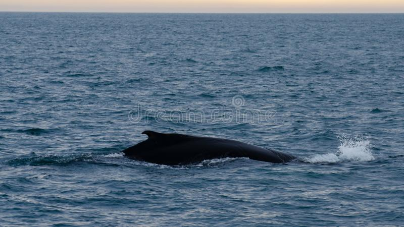 Husavik - the humpback whale Iceland, August 2018. The humpback whale Megaptera novaeangliae is a species of baleen whale royalty free stock photo