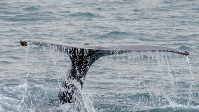 Husavik - the humpback whale Iceland, August 2018. The humpback whale Megaptera novaeangliae is a species of baleen whale royalty free stock photography