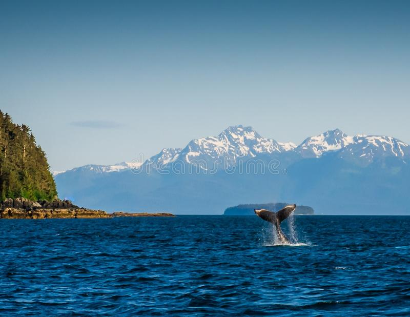 Humpback whale with mountains. A humpback whale tail in the ocean with mountains in the background of Alaska royalty free stock photography