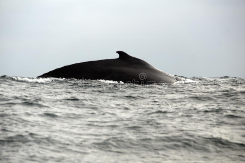 Humpback whale in Ecuador. Humpback whale off the coast of Puerto Lopez, Ecuador royalty free stock photos