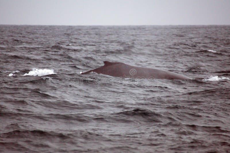 Humpback whale in Ecuador. Humpback whale off the coast of Puerto Lopez, Ecuador stock photo