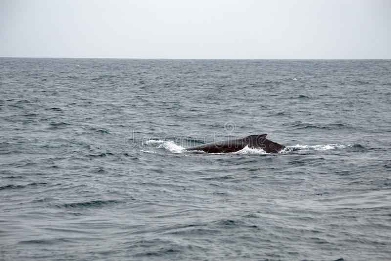 Humpback whale in Ecuador. Humpback whale off the coast of Puerto Lopez, Ecuador royalty free stock image