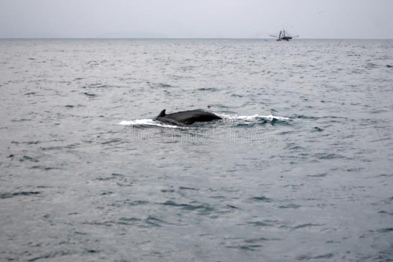 Humpback whale in Ecuador. Humpback whale off the coast of Puerto Lopez, Ecuador, with a trawler in the background stock image