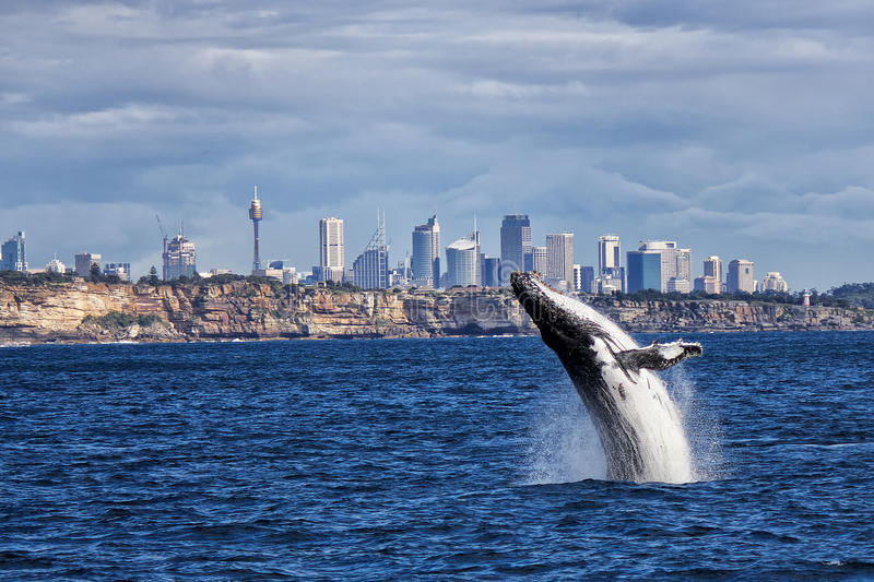 Humpback whale off Sydney. Breaching Humpback Whale and Sydney skyline stock photos