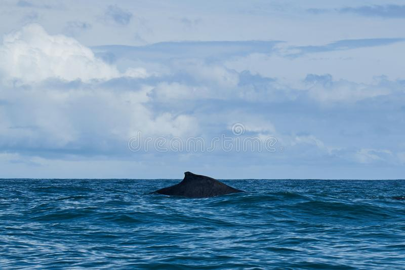 Humpback whale in Pacific Ocean royalty free stock photo