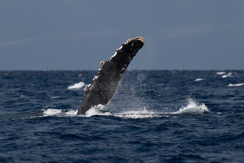 Humpback whale pectoral fin. Hawaii, Maui, Lahaina, Winter royalty free stock photography