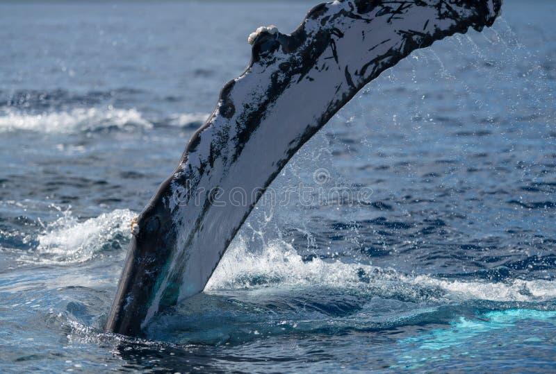 Humpback whale pectoral fin. Hawaii, Maui, Lahaina, Winter royalty free stock image
