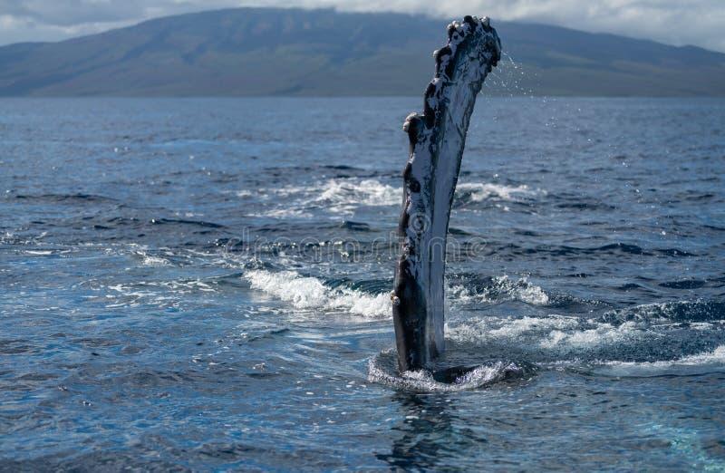 Humpback whale pectoral fin. Hawaii, Maui, Lahaina, Winter stock photo