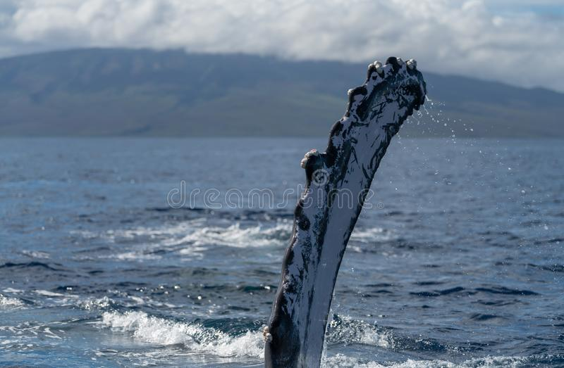 Humpback whale pectoral fin. Hawaii, Maui, Lahaina, Winter royalty free stock images
