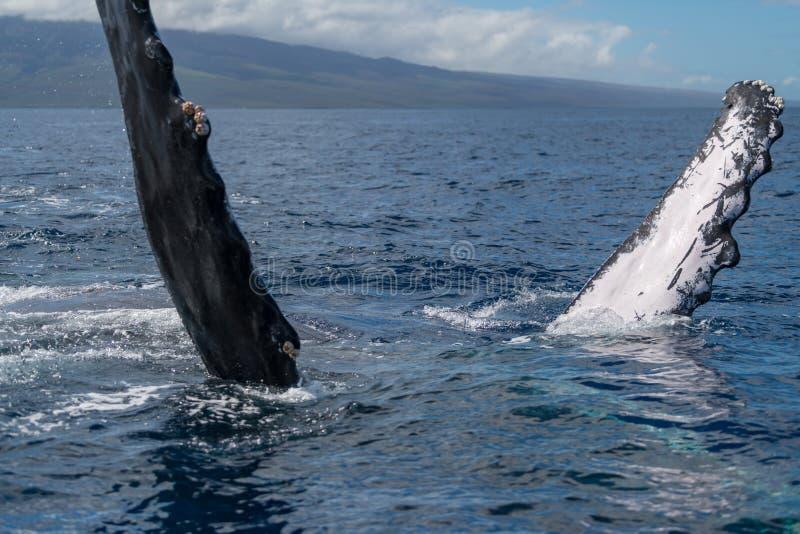 Humpback whale pectoral fin. Hawaii, Maui, Lahaina, Winter royalty free stock photos