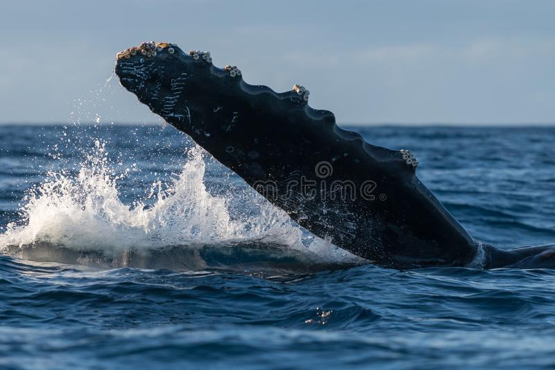 Humpback whale pectoral fin. Hawaii, Maui, Lahaina, Winter stock photography