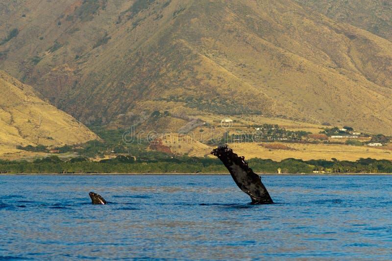 Humpback whale pectoral fin. Humpback whale pectoral fin in Hawaii, Maui, Lahaina, Winter stock photos