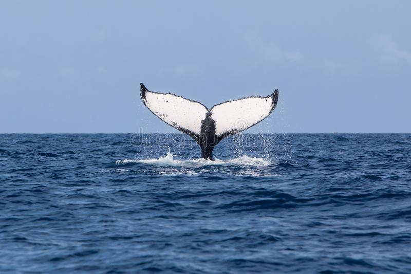 Humpback Whale Raises Fluke of the Ocean. A Humpback whale, Megaptera novaeangliae, raises its powerful tail, or fluke, out of the Atlantic Ocean. Each year the royalty free stock image