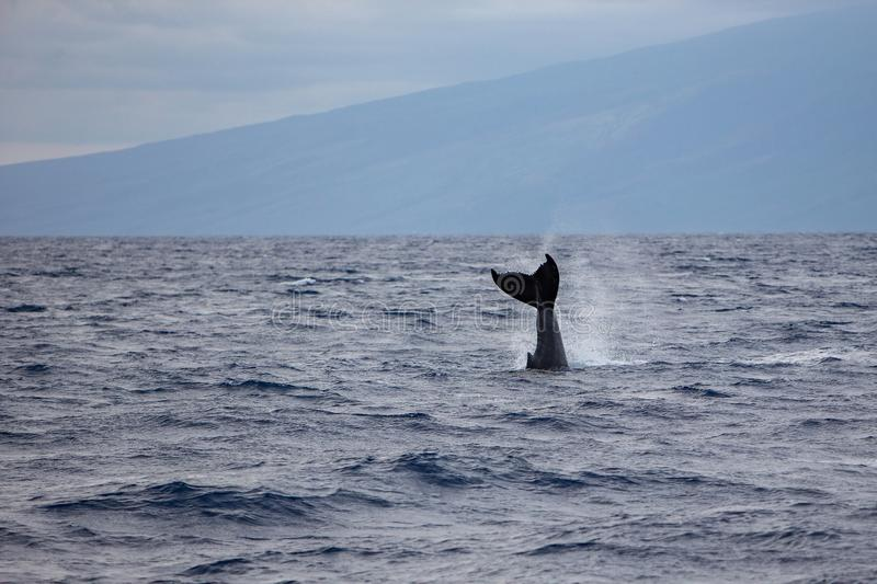 Humpback whale`s tail fin Megaptera novaeangliae off the coast of Maui, Hawaii. stock images