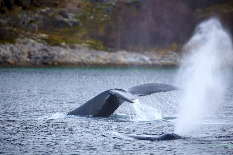 Humpback whale safari in the arctic. Two large humpback whales in the arctic. Shows tail fin and a fountain of steam when the whale breathes out stock image