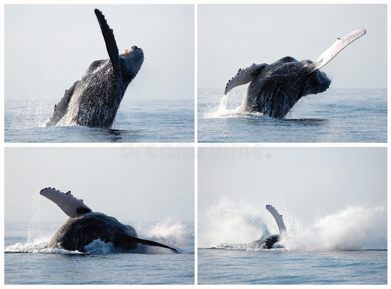 Humpback whale series breaching stock photos