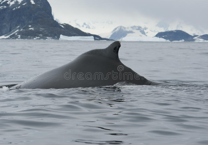 Download A Humpback Whale In The Southern Ocean-2. Stock Image - Image: 23935491