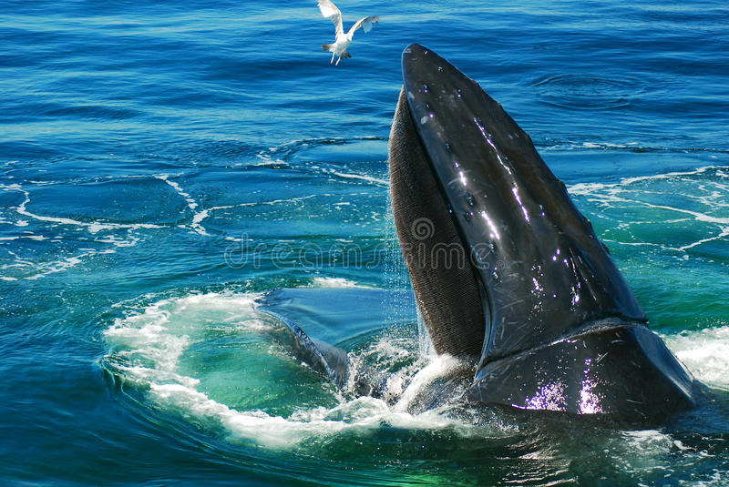 Humpback Whale. A humpback whale surfaces during his feeding royalty free stock photo