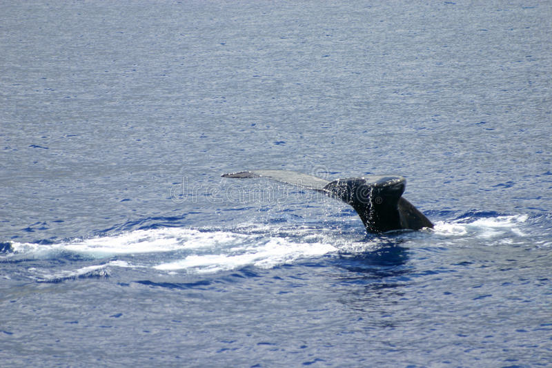 Download Humpback Whale Tail Royalty Free Stock Photo - Image: 13660755