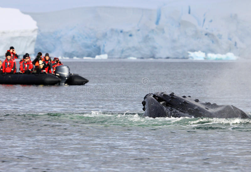Humpback whale tail with boat. Humpback whale tail with ship, boat, showing on the dive, Antarctic Peninsula royalty free stock images