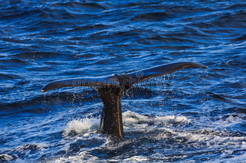 Humpback whale tail fluke andenes area norway stock photography