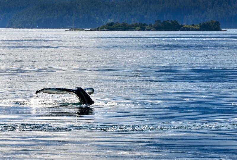 Humpback Whale Tail Fluke royalty free stock image