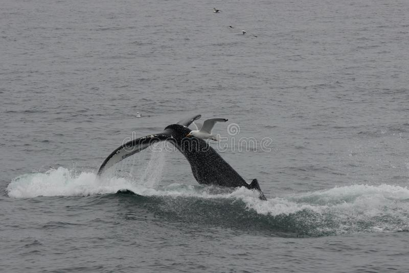 Humpback Whale Tail Flukes Shown While Diving at Cape Cod Massachusetts. Image of Humpback Whale Tail or Fluke. Span shown as it Dives. Taken in ocean off Cape royalty free stock photo