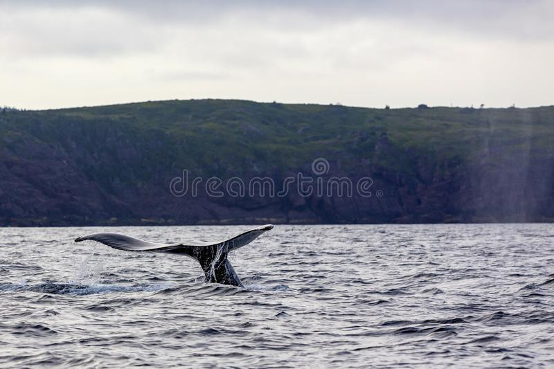 Humpback whale tail. Showing as whale dives for food in near the Cape Spear, the most easterly point in North America, Newfoundland and Labrador, Canada royalty free stock photos