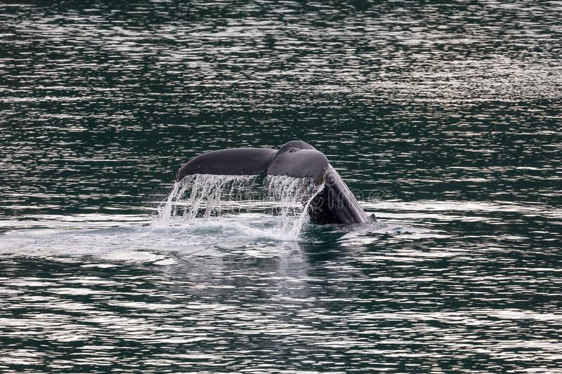 A humpback whale tail off the coast of Juneau, Alaska royalty free stock images