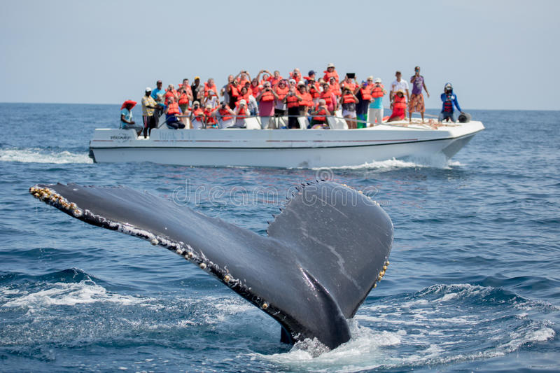 Humpback whale tail in Samana, Dominican republic and torist whale watching boat stock images
