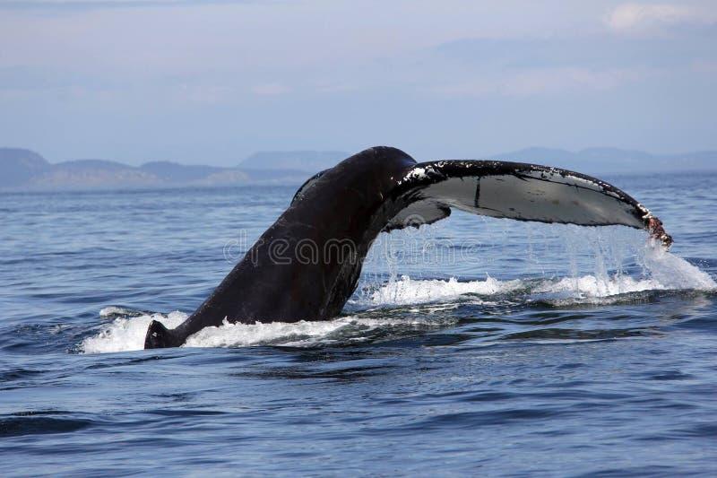 Humpback whale tail San Juan Islands royalty free stock photo
