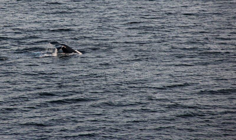 Humpback Whale Tail. A Humpback Whale showing it's Tail just off the coast of Kodiak Island, Alaska, USA stock photo