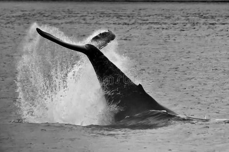 Humpback whale tail splash in black and white stock photo