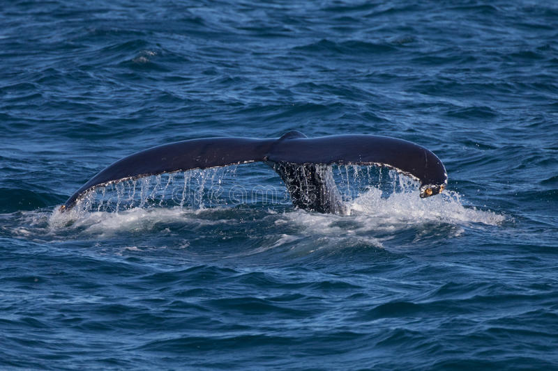 Humpback Whale Tail. Visible at the moment of the start of a deep dive stock photos