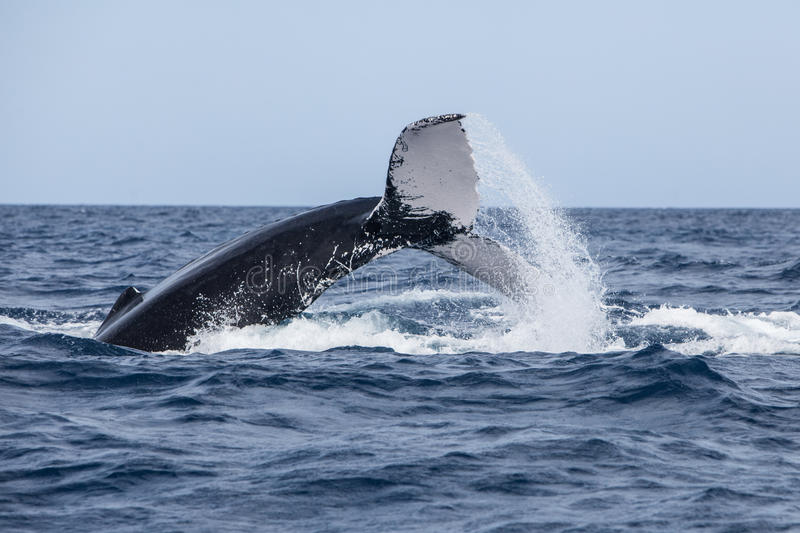 Humpback Whale Throwing Tail at Surface. A Humpback whale (Megaptera novaeangliae) throws its powerful fluke on the surface of the sea. Why whales do this is not stock photography