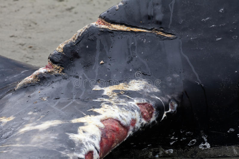 Humpback Whale Washes Ashore And Died Royalty Free Stock Photography
